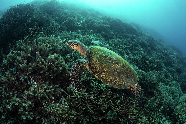 Wall Art - Photograph - A Hawksbill Sea Turtle Swims by Ethan Daniels