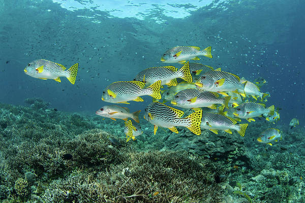 Photograph - A School Of Lined Sweetlips Swimming by Ethan Daniels