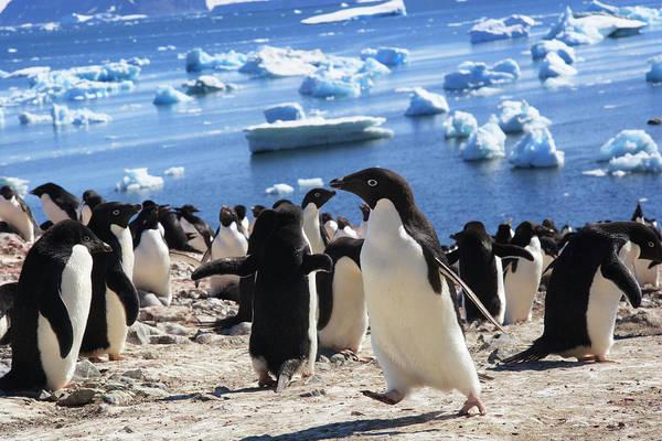 Wall Art - Photograph - Adelie Penguin Devil Island, Antarctica by Tom Norring