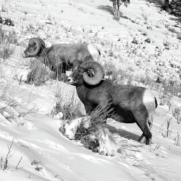 Photograph - 2 Amazing Bighorn Sheep In Black And White By Olena Art  by OLena Art Brand