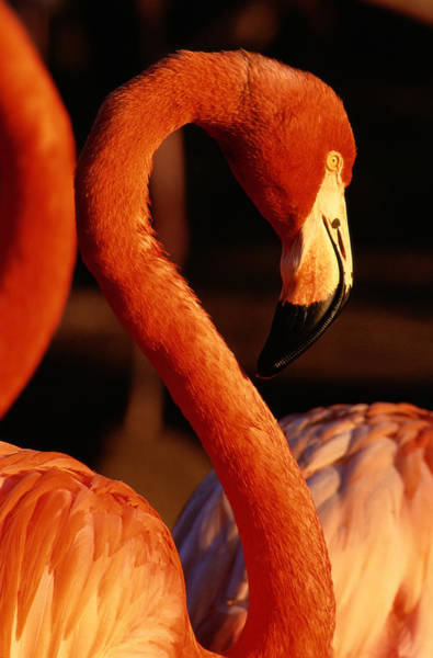Safari Animal Photograph - American Flamingo Phoenicopterus Ruber by Art Wolfe