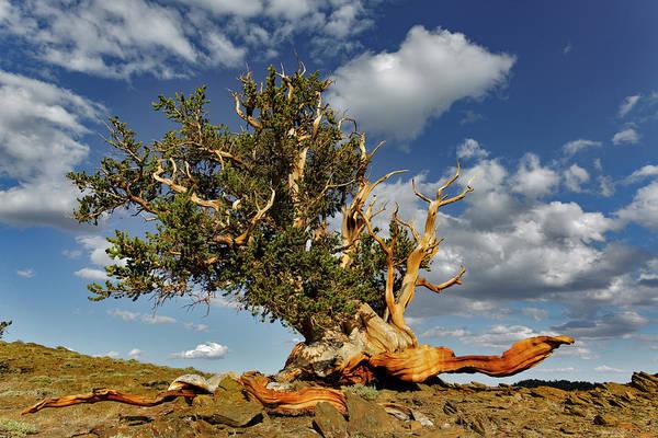 Wall Art - Photograph - Ancient Bristlecone Pine Tree by Adam Jones