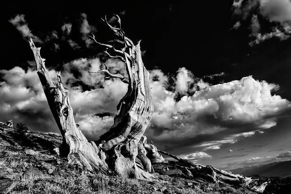 Wall Art - Photograph - Ancient Bristlecone Pine Trees, White by Adam Jones