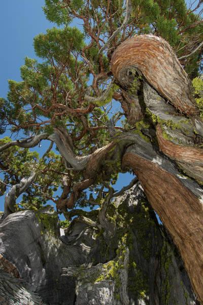 Desolation Photograph - Ancient Sierra Juniper Lake Tahoe by Howie Garber