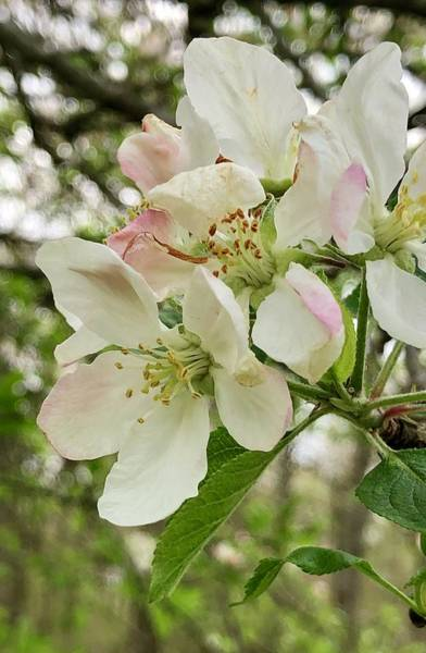 Photograph - Apple Blossoms by Barry Jones