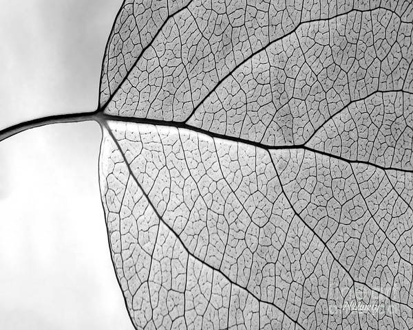 Photograph - Aspen Leaf Veins by Natalie Dowty
