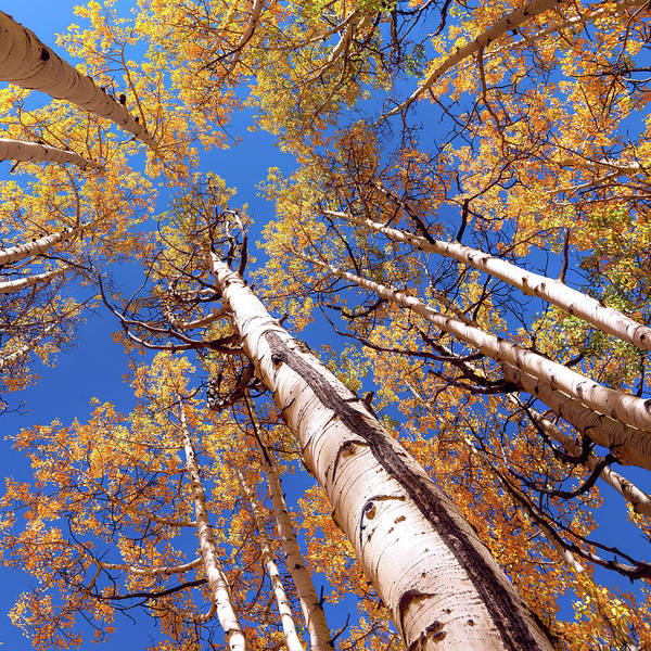 Wall Art - Photograph - Aspen Trees Against The Sky In Crested Butte, Colorado  by OLena Art - Lena Owens
