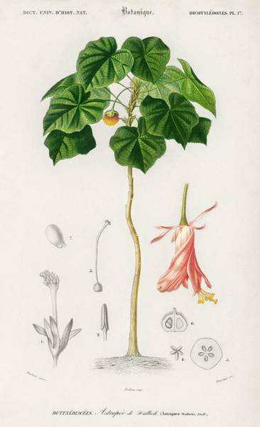 Wall Art - Painting - Astrapoea Wallichii Illustrated By Charles Dessalines D' Orbigny  1806-1876  by Celestial Images