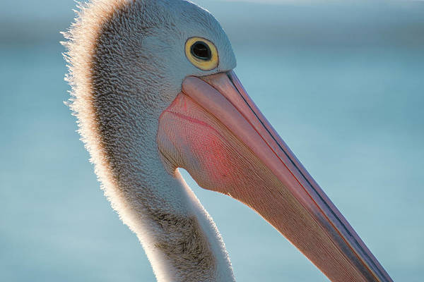 Photograph - Australian Pelican by Rob D Imagery