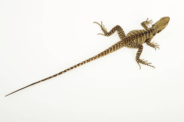 Long Tail Photograph - Australian Water Dragon Physignathus by Martin Harvey