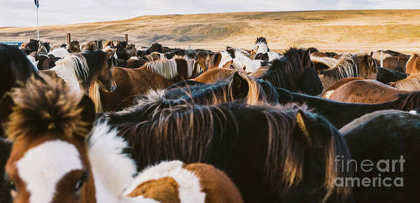 Photograph - Authentic Wild Icelandic Horses In Nature Riding. by Joaquin Corbalan