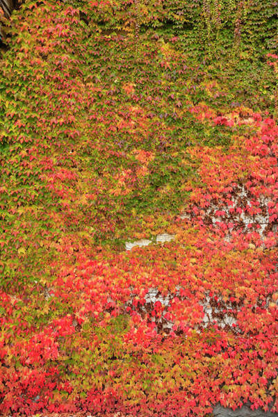 Wall Art - Photograph - Autumn Colored Ivy Decorating The Front by Stuart Westmorland