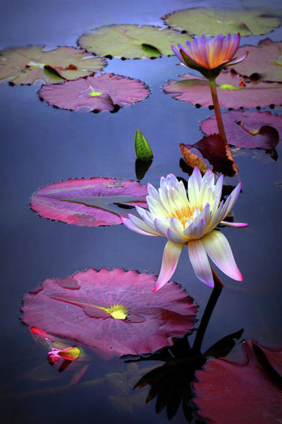 Lotus Pond Photograph - Autumn Lily by Jessica Jenney