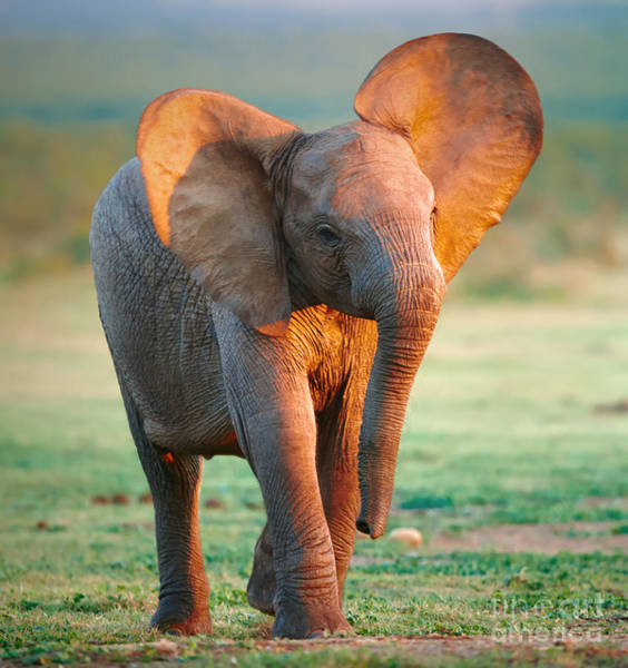 Wild Grass Photograph - Baby Elephant by Johan Swanepoel