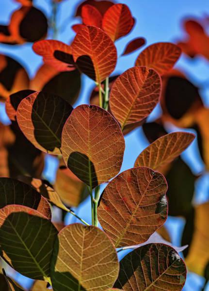 Photograph - Back Lit Leaves by Robert Ullmann
