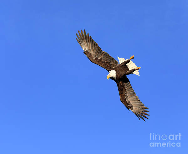 Wall Art - Photograph - Bald Eagle Diving For Fish by Louise Heusinkveld