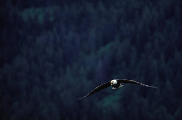 Eagle Photograph - Bald Eagle Haliaeetus Leucocephalus In by Art Wolfe