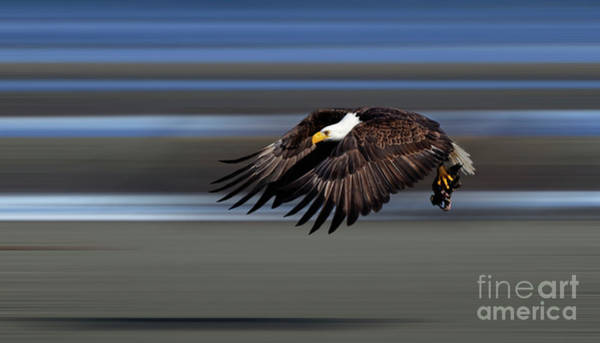 Wall Art - Photograph - Bald Eagle In Flight by Bob Christopher