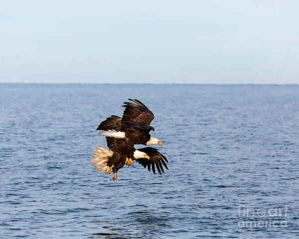 Wall Art - Photograph - Bald Eagles Diving For Fish by Louise Heusinkveld