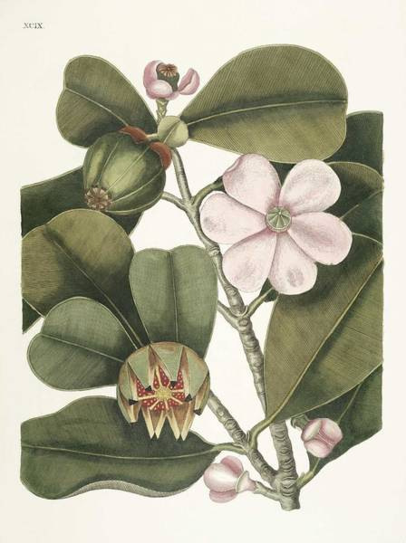 Wall Art - Painting - Balsam Tree  Cenchramidea Arbor From The Natural History Of Carolina, Florida, And The Bahama Islan by Celestial Images