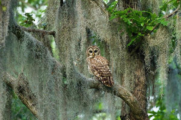 Bar Photograph - Barred Owl Strix Varia In Bald Cypress by Danita Delimont
