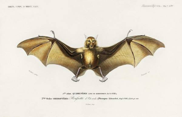 Wall Art - Painting - Bat  Roufsette Illustrated By Charles Dessalines D  Orbigny 1806 1876  by Celestial Images