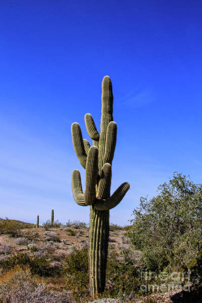 Wall Art - Photograph - Beautiful Saguaro Cactus by Robert Bales