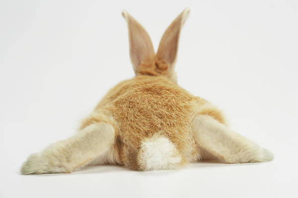 Photograph - Beige Bunny Rabbit On White Background by American Images Inc