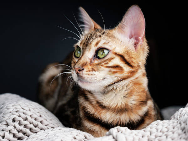 Alert Wall Art - Photograph - Bengal Cat Portrait by Nailia Schwarz