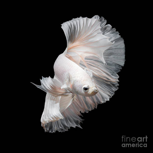 Wall Art - Photograph - Betta Fish,siamese Fighting Fish In by Nuamfolio