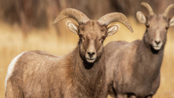 Photograph - Big Horn Sheep by Brenda Jacobs