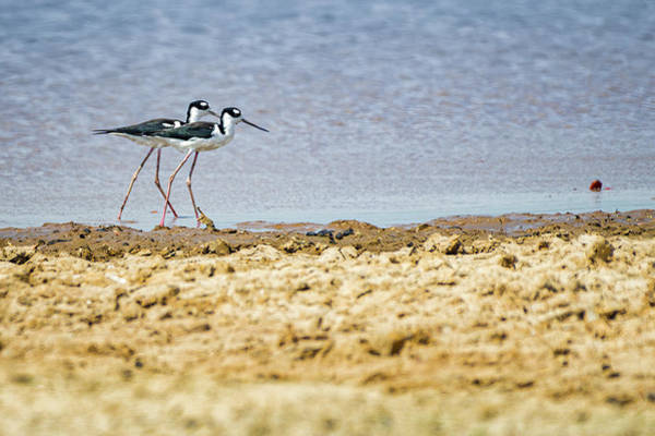 Photograph - Black Necked Stilt Guanapalo Casanare Colombia by Adam Rainoff