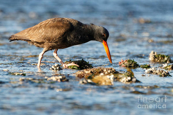 Black Oystercatcher Pacific Coast Art Print