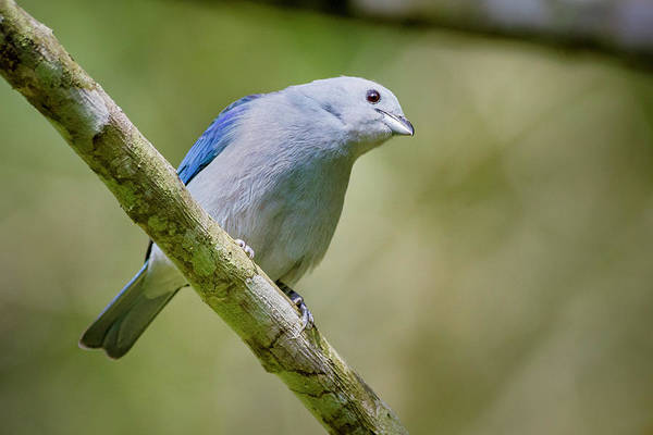 Blue-gray Tanager San Jorge Ibague Colombia Art Print