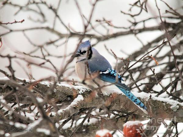 Wall Art - Photograph - Blue Jay In Winter by J McCombie