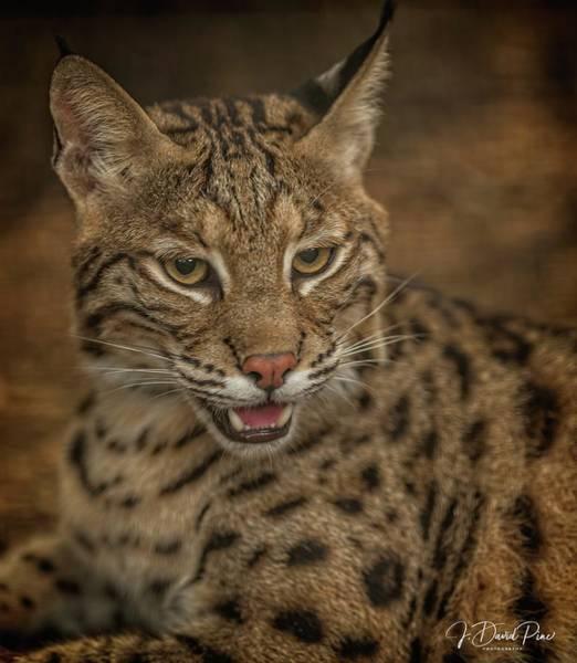 Photograph - Bobcat by David Pine