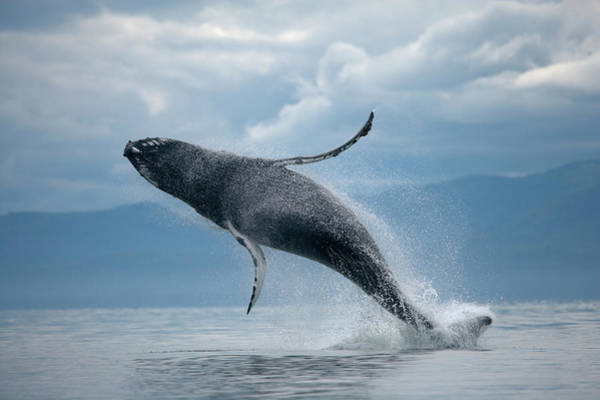 Juneau Photograph - Breaching Humpback Whale, Alaska by Paul Souders