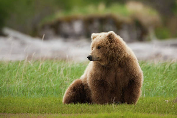 Brown Bear, Katmai National Park Art Print by Mint Images/ Art Wolfe