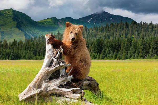 Urban Wildlife Photograph - Brown Bear, Lake Clark National Park by Mint Images/ Art Wolfe