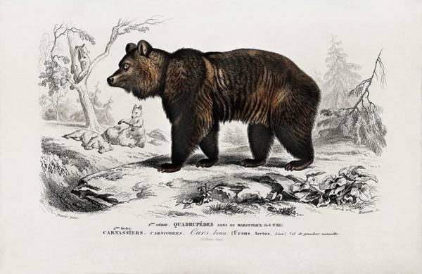 Wall Art - Painting - Brown Bear  Ursus Arctos  Illustrated By Charles Dessalines D Orbigny  1806-1876  by Celestial Images