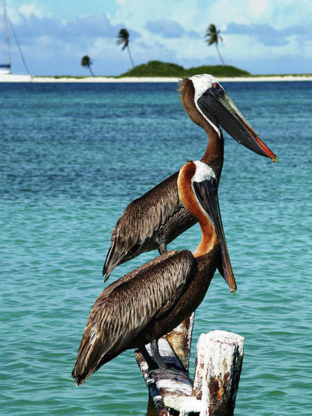 Photograph - 2 Brown Pelicans  In Mating Plummage by Organizacion Bluewater