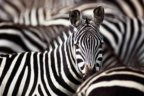 Wall Art - Photograph - Burchells Zebras Equus Burchelli by Art Wolfe