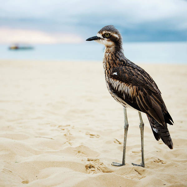 Photograph - Bush Stone-curlew Resting On The Beach. by Rob D Imagery