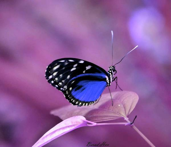 Photograph - Butterfly by Bernd Hau