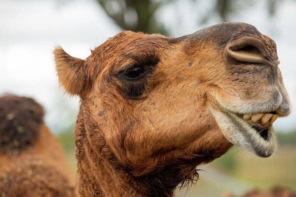 Photograph - Camel Out Amongst Nature by Rob D Imagery