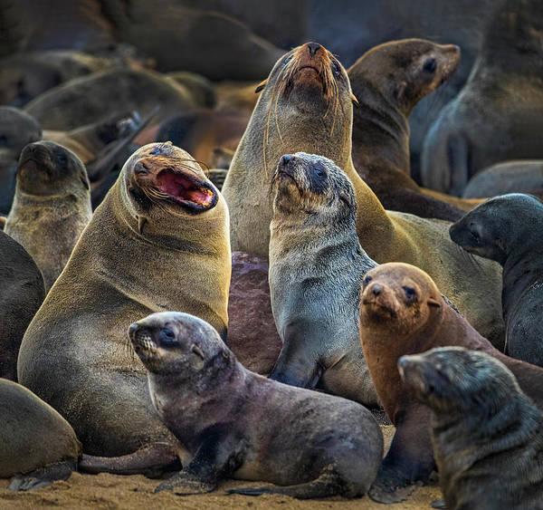Wall Art - Photograph - Cape Fur Seal Arctocephalus Pusillus by Panoramic Images