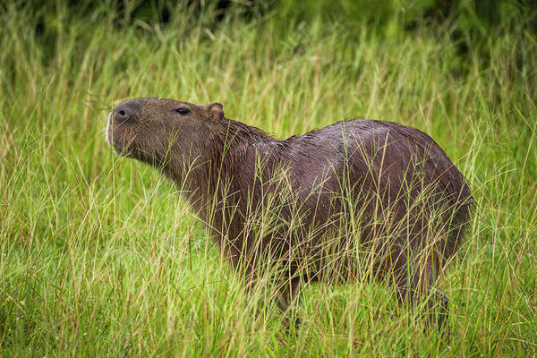 Photograph - Capybara Chiguiro Hato Barley Tauramena Casanare Colombia by Adam Rainoff
