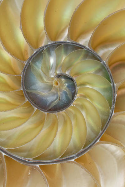 Wall Art - Photograph - Chambered Nautilus Shell by Adam Jones