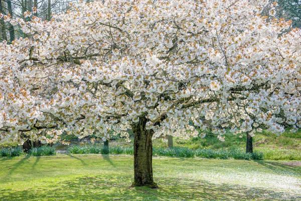 Wall Art - Photograph - Cherry Blossom Tree by Svetlana Sewell