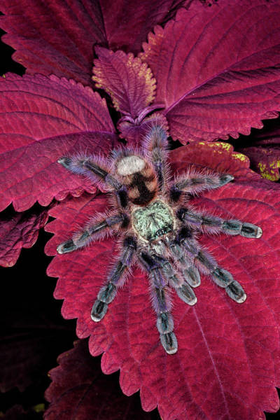 Wall Art - Photograph - Chilean Rose Haired Tarantula by Adam Jones